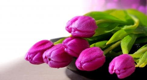 purple tulips laying on table