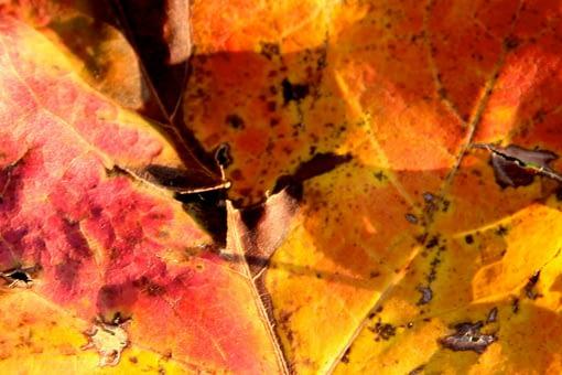 fall leaves maple
